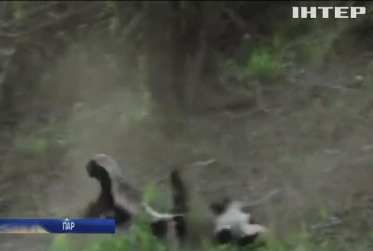 Борсук та леопард побилися на очах у туристів