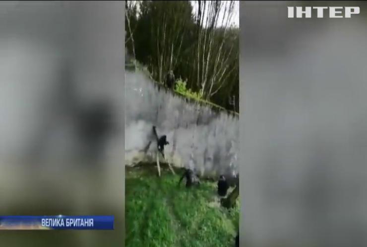 Скористався нагодою: із зоопарку Белфаста втік шимпанзе (відео)
