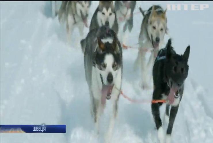У Швеції влаштували перегони на собачих упряжках