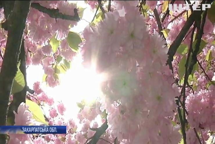 В Ужгороді розквітли тисячі дерев японської вишні