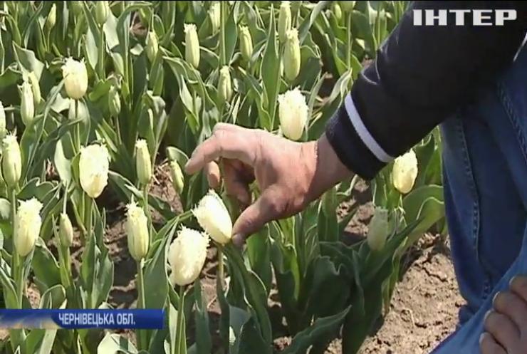 На Буковині розквітла справжня долина тюльпанів