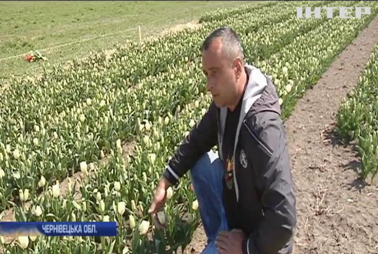 На Буковині розквітла долина тюльпанів