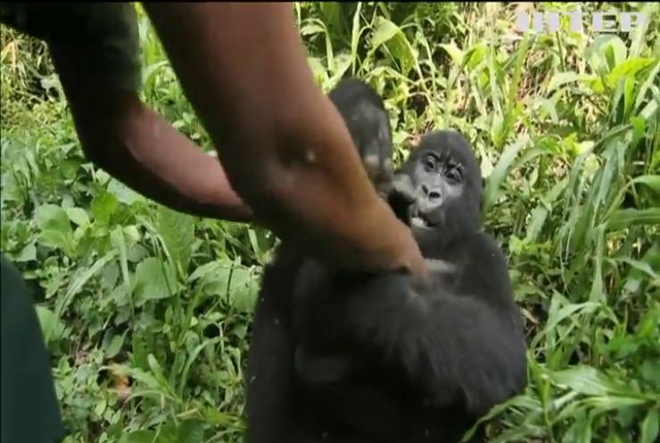 Горили у зоопарку Конго навчилися позувати для селфі