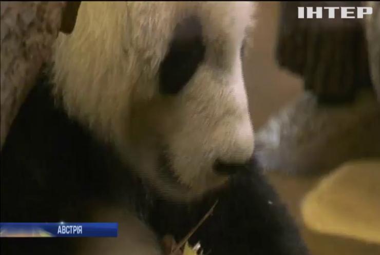 У віденському зоопарку житиме панда з Китаю