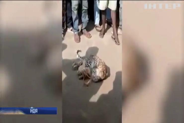 Дикий леопард забрів у спальний район міста
