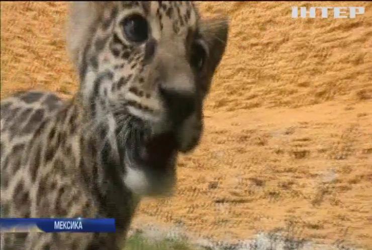 Мексиканський зоопарк поповнився дитинчам ягуара