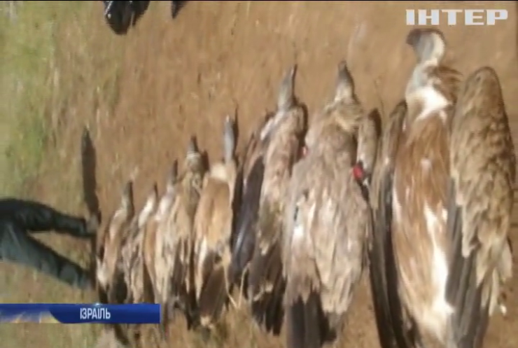 В Ізраїлі масово гинуть рідкісні орли