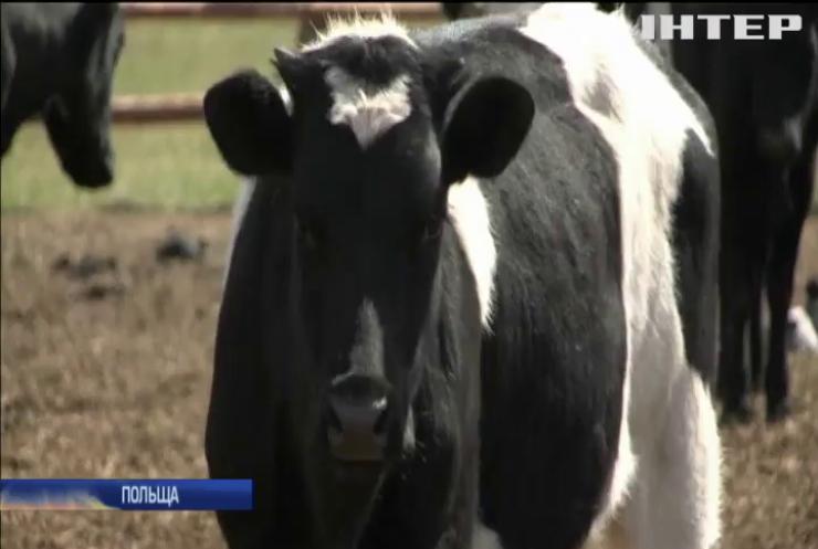 У Польщі покинули напризволяще стадо корів
