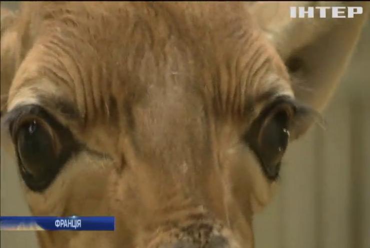 У Парижі показали новонароджене жирафеня