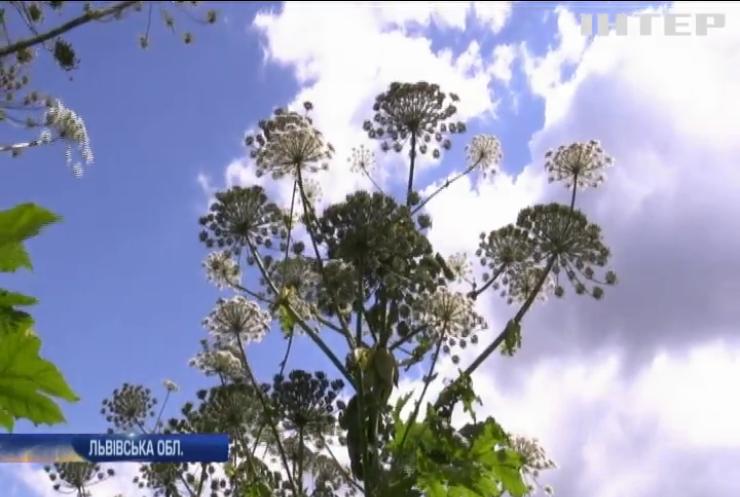Жителі Львівщини самотужки борються з небезпечними рослинами