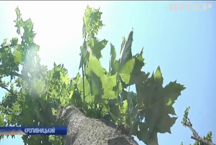 """""""Облагородили"""": у Кропивницькому комунальники знищили десятки дерев"""