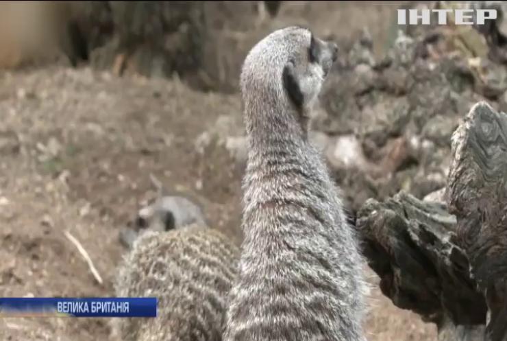 У Честерському зоопарку з'явилися юні сурикати