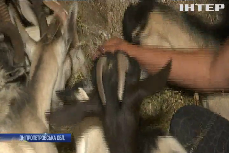 На Дніпропетровщині волонтери врятували від голодної смерті кіз