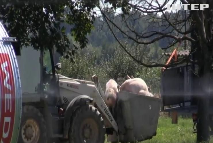 На Львівщині спалили 40 тисяч чумних свиней