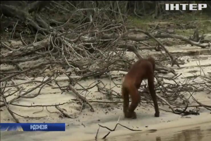 Орангутангів Індонезії травить небезпечний смог