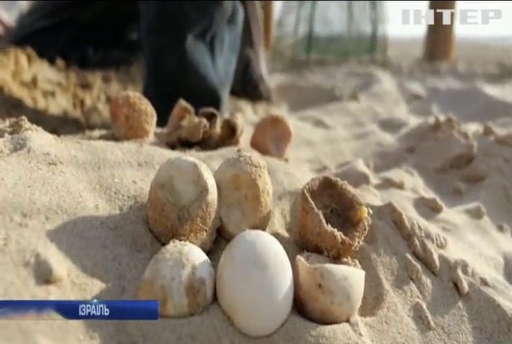 В Ізраїлі втілюють унікальну програму з відновлення популяції рідкісних черепах