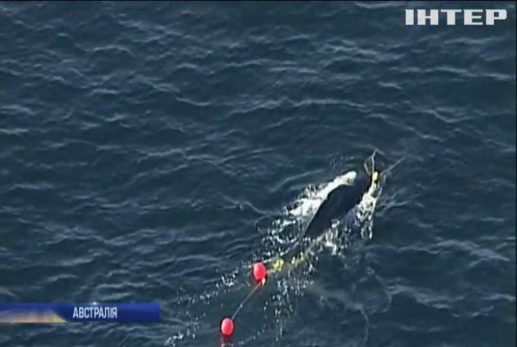 Поблизу узбережжя Австралії врятували дитинча горбатого кита