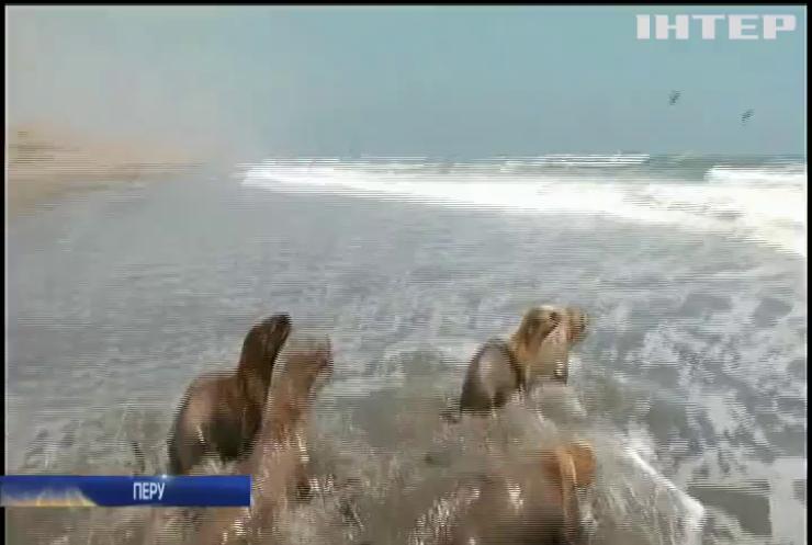 У Перу молодих морських левів випустили до дикої природи