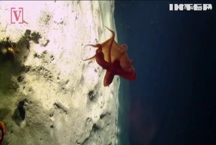 Змінення форми: науковці виявили рідкісний вид восьминога