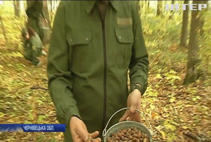 На Буковині розпочався сезон заготівлі жолудів