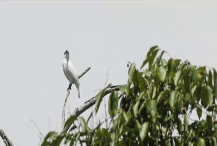 Орнітологи визначили найголосистішу в світі пташку