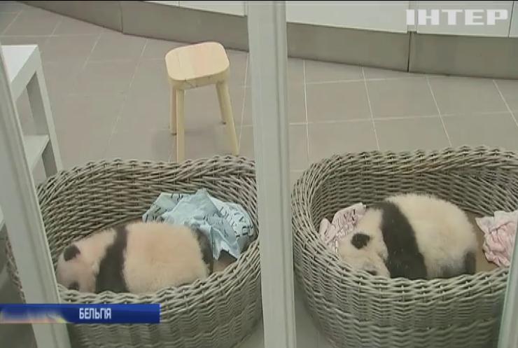 Бельгійський зоопарк поповнився дитинчатами панди