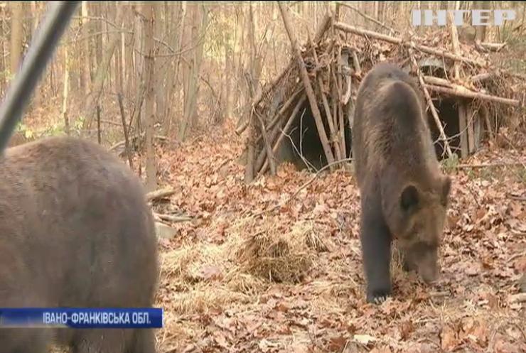 У Карпатах ведмеді навідуються по їжу до людських осель