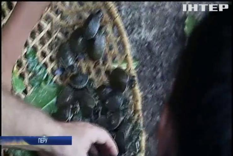 В Амазонку випустили тисячі черепашенят