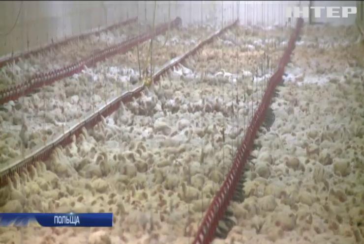 Польща рекордними темпами виривається у світові лідери з експорту курятини