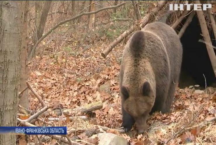 У Карпатах не можуть заснути ведмеді