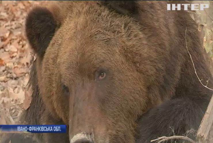Карпатські ведмеді не можуть заснути через зміни клімату