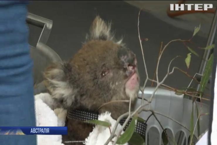В Австралії створили шпиталь для коал