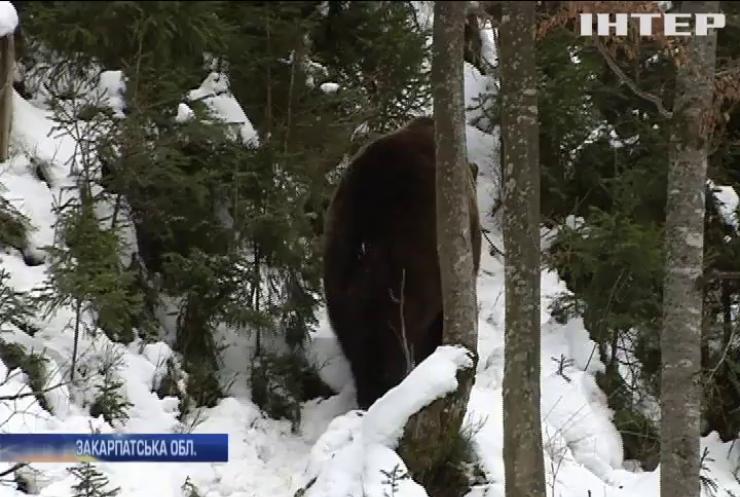 Закарпатські ведмеді не заснули: чим це загрожує тваринам