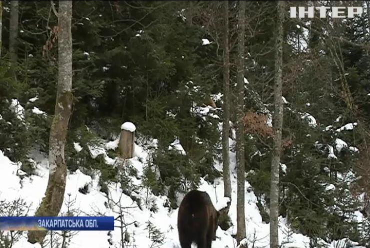 Ведмеді реабілітаційного центру на Закарпатті не заснули на зиму