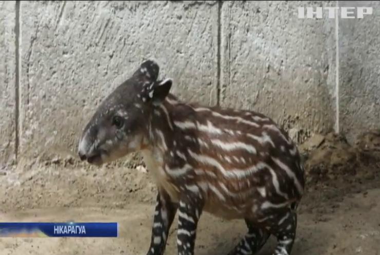У зоопарку Нікарагуа показали новонародженого тапіра