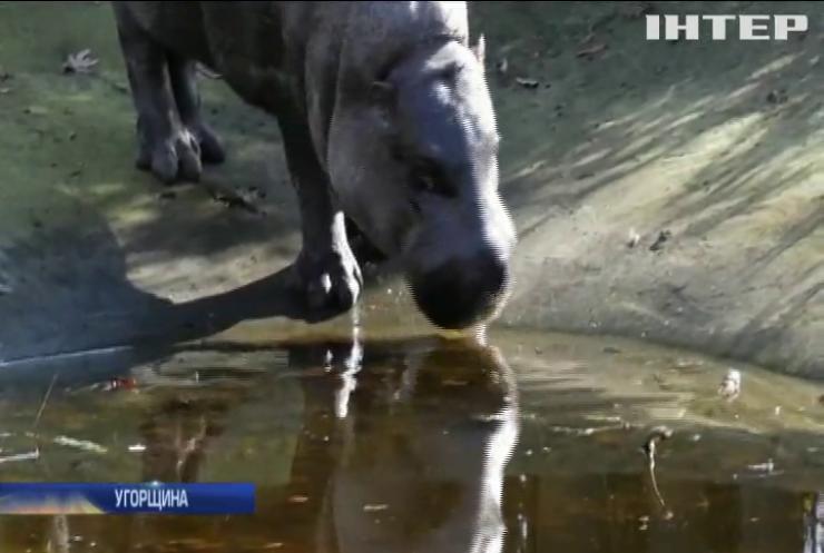 Угорський зоопарк поповнився карликовим бегемотиком