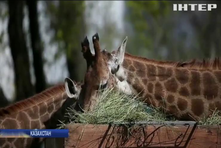 Співробітники зоопарку Алмати працюють попри карантин