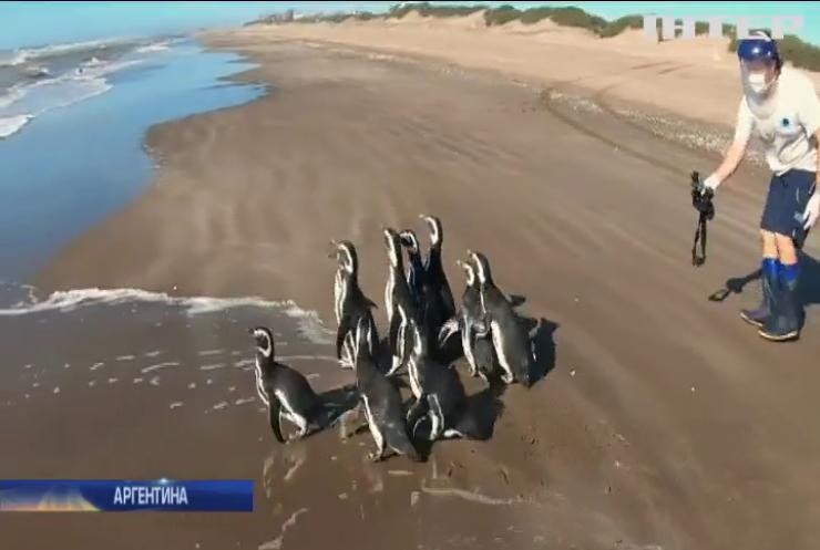 В Аргентині десять пінгвінів відпустили у дику природу
