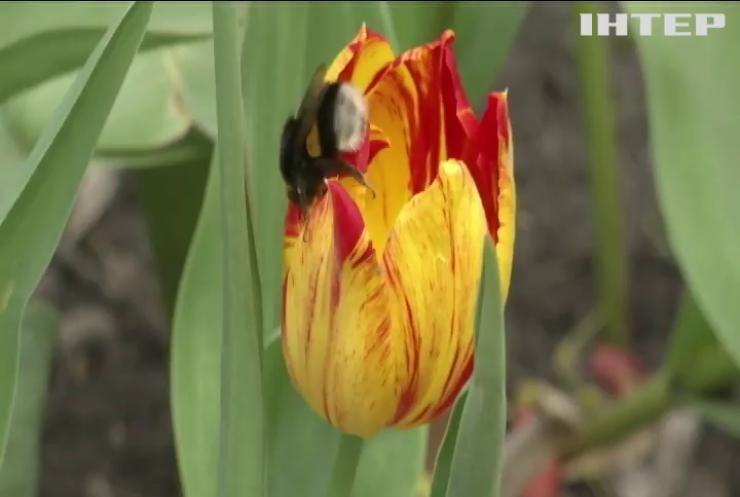 У Кропивницькому розквітли три мільйони тульпанів