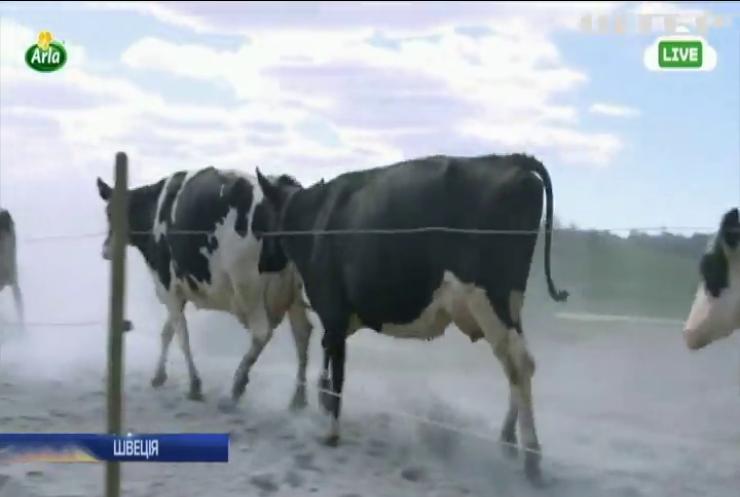 У Швеції провели онлайн весняне випускання корів на пасовища