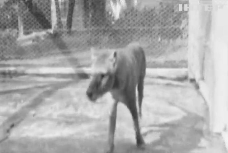 Останній на Землі: австралійці показали відео з сумчастим вовком