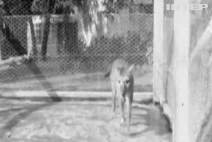 Австралійці показали відео останнього тасманійського тигру