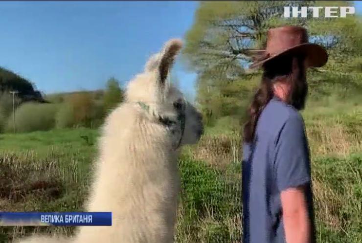 Незвичайний кур'єр: лама розвозить харчі жителям Вельса