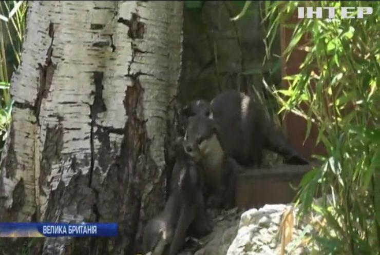 У лондонському зоопарку дали імена новонародженим малятам видри