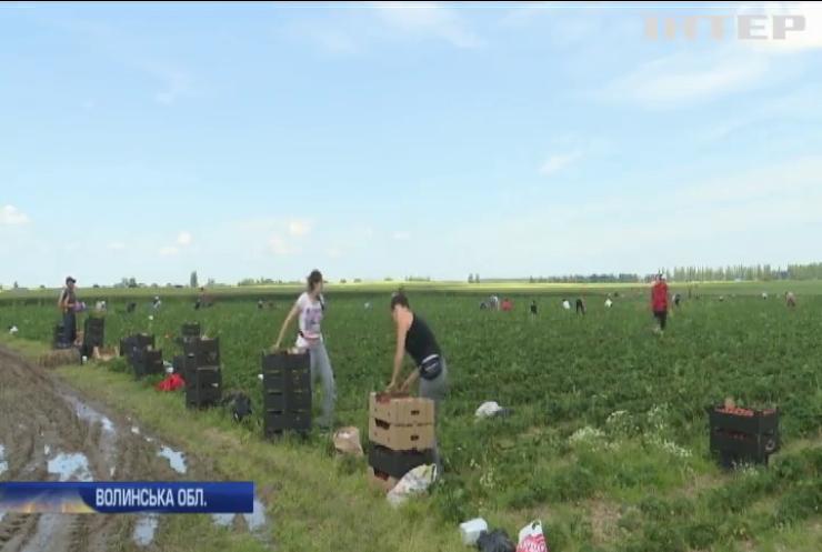 Сто тонн полуниці щодня: як невелике село на Волині розвинуло полуничний бізнес