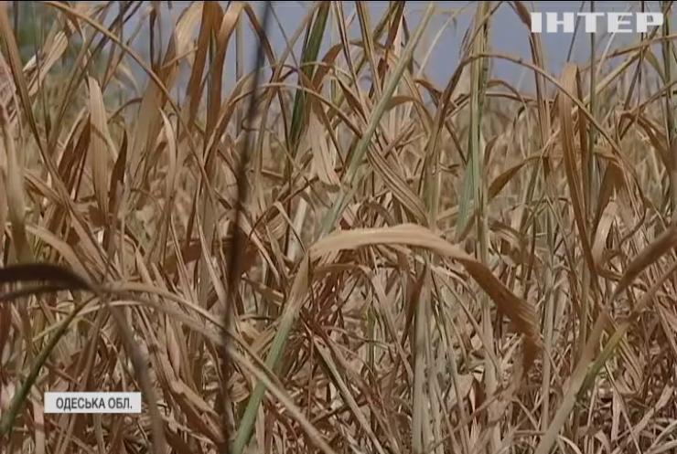 Хліб під загрозою: фермери України потребують допомоги від держави