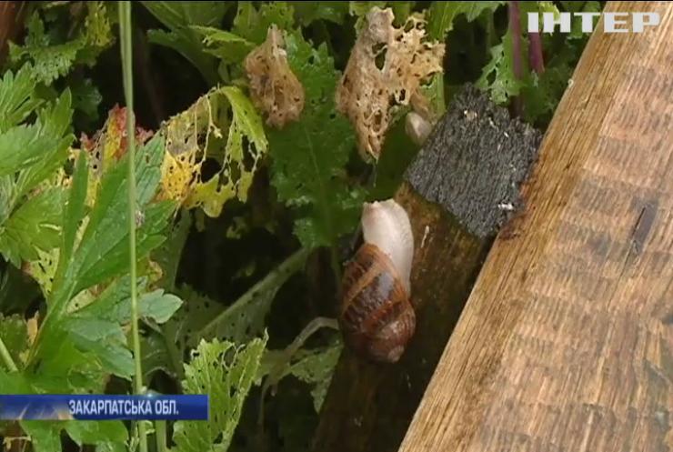 Фермери Закарпаття закликають вирощувати равликів