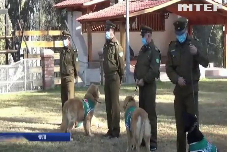 Чилійці навчили собак виявляти хворих на COVID-19
