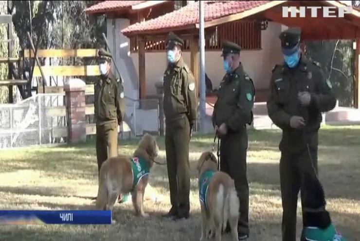 У Чилі навчили собак виявляти Covid-19