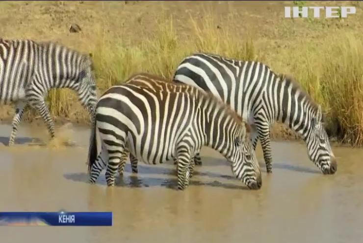 Велика міграція тварин у Кенійському національному парку залишиться без глядачів